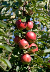 Enhance The Garden Environment With Apple Trees!