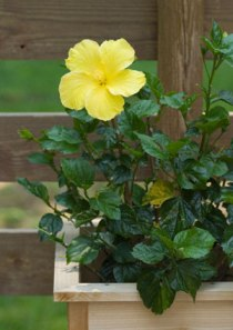 Hibiscus Flower Plants