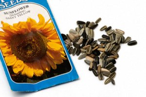 Plant Seeds To Grow Sunflowers For Giving Good Look To Your Garden!