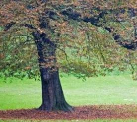 How To Safely Transplant An Oak Tree?