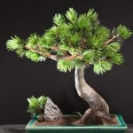 10 Most Common Styles Of Bonsai