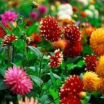 Grow Different Varieties Of Dahlia Flowers To Make Your Home Garden Colorful!