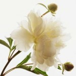 Peonies: One Of The Most Beautiful Perennial Flowers To Include In Your Garden!