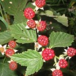 Make Your Home Garden Perfect With Raspberry Plants!