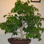 Want To Grow Fiscus Bonsai? Know How To Care Of It!