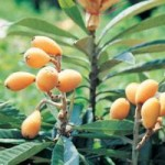 Growing Loquats To Keep Your Garden Evergreen