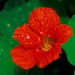 Growing Wonderful Nasturtiums In Home Garden