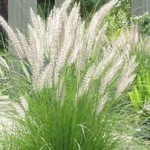Tips To Grow Ornamental Grasses