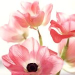 Growing Anemone For Late Summer Or Autumn
