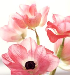 Growing anemone for late summer or autumn gardening tips anemones are clear beautiful flowers with colors such as pink purple and red mightylinksfo