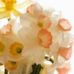 Daffodils: Perfect Choice For Beginner Gardeners