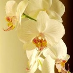 Easy Tips To Grow Orchids Indoors