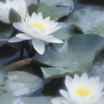 Water Lilies To Enhance The Beauty Of Backyard Pond