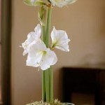 How To Take Care Of Amaryllis Bulbs?
