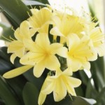 Clivias: Unique Flowering Plants For Indoors