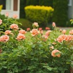 Essential Aspects To Consider In Rose Gardening