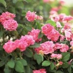 Protecting Rose Bushes In Freezing Temperatures