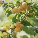 Taking Care Of Your Home Fruit Trees