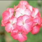 Geraniums Are Ideal For Cool Climates