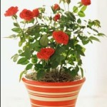Don't Have Enough Space To Plant Roses? Try Pots