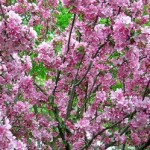 Top Three Trees For A Small Garden