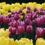 Growing Tulips To Add Beauty To Your Garden