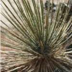 Yucca Is Always The Green Companion For Your Garden