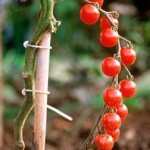 Requirements To Grow Tomatoes In Your Own Garden