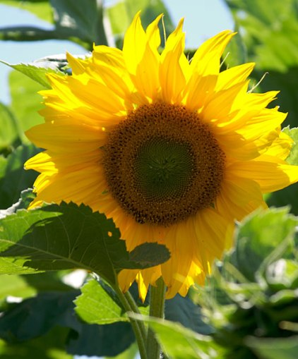 Growing sunflowers