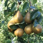 Bosc Pears – A Delight At Hand With A Bit Of Work
