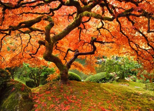 maple trees - Trees For Home Garden