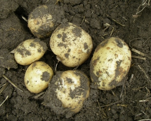 Growing-potatoes.jpg