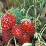The Art Of Growing The Finest Strawberries In Your Garden