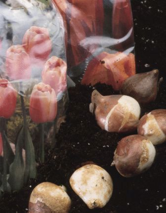flower bulbs