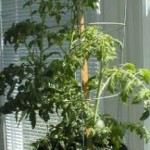 The Right Steps To Grow Tomatoes Indoors