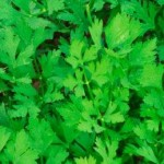 Parsley – A Friendly Herb And A Friendly Way To Grow It