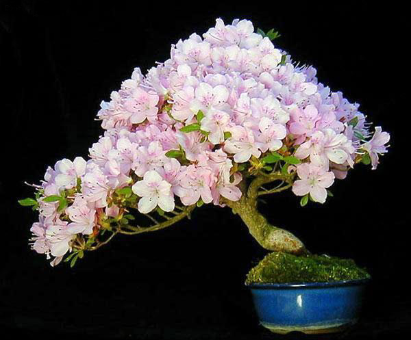 Outdoor Bonsai Plants - 30 Bonsai Plants Pictures