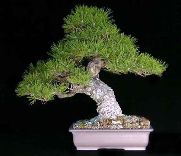 bonsai plant