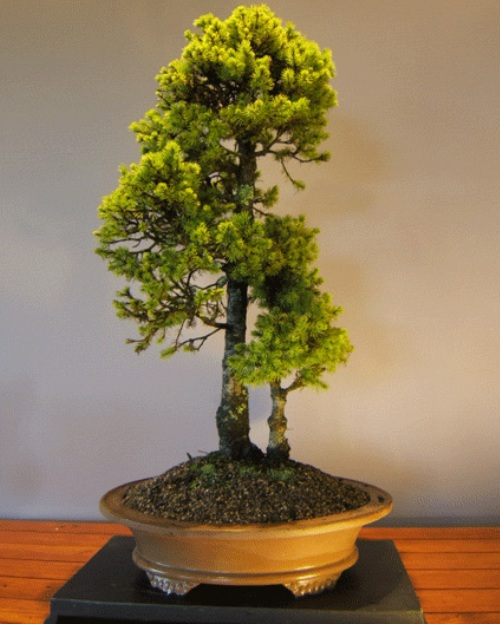 Backyard Bonsai Trees : ReCycled Newz 30 AweInspiring Outdoor Bonsai Plants