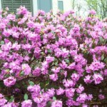 Blooming Shrubs – A Garden Treasure All Through Summer