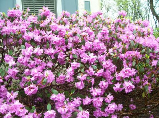 blooming shrubs 1