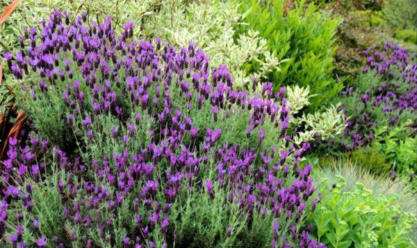 english lavender 2