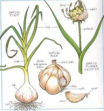 planting fall garlic 1