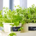 The Aromatic Herbs and the Science of Growing Them