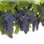 Choosing the Right Grapevine Support for Your Garden