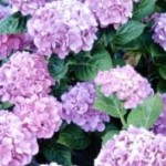 Making Fabulous Hydrangeas Through Care and Patience