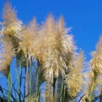 Ornamental Grasses for Wild but Complex Landscaping