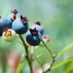 Home Grown Blueberries – The Blue Treasure of Your Garden