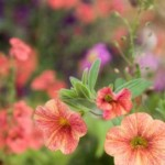 Petunias and How to Obtain Their Fascinating Flowers