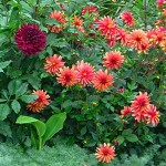 Dahlia Is the Most Versatile Jewel for Summer/Fall Gardens
